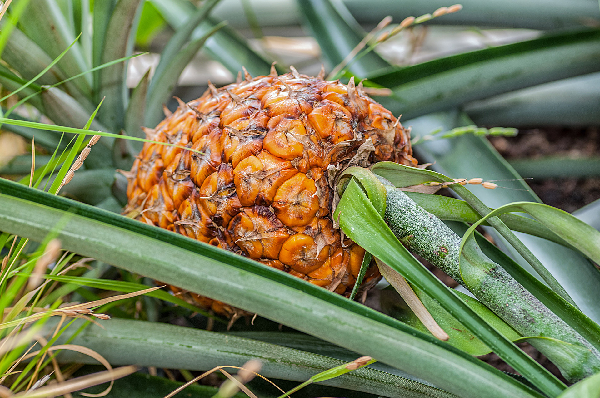 Ananas comosus - Ananas