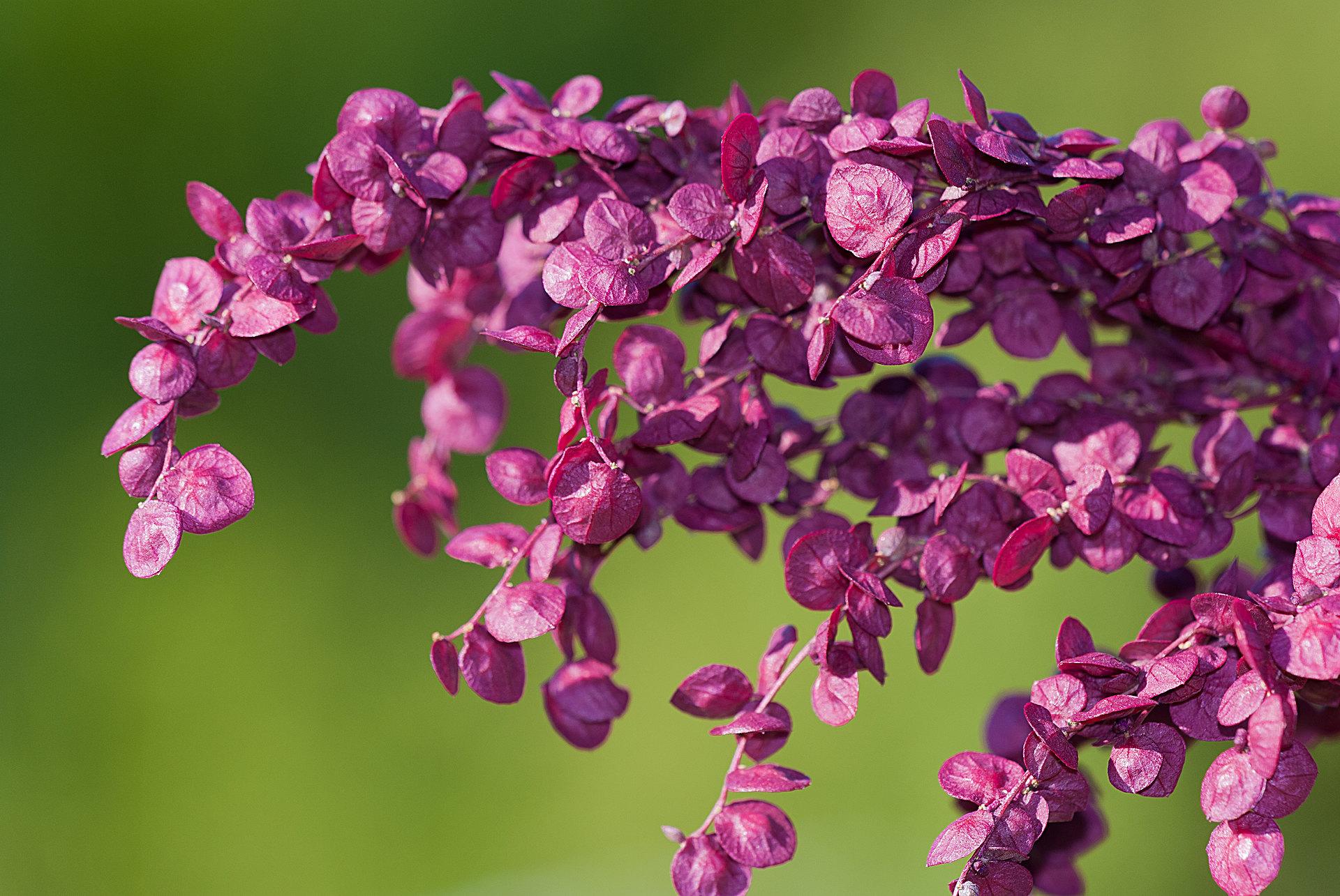 Atriplex hortensis - Gartenmelde
