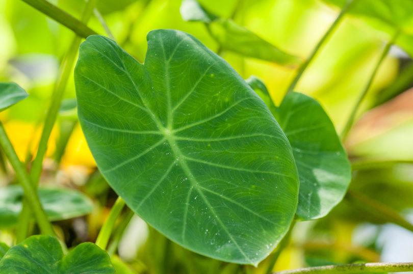 Colocasia esculenta - Taro