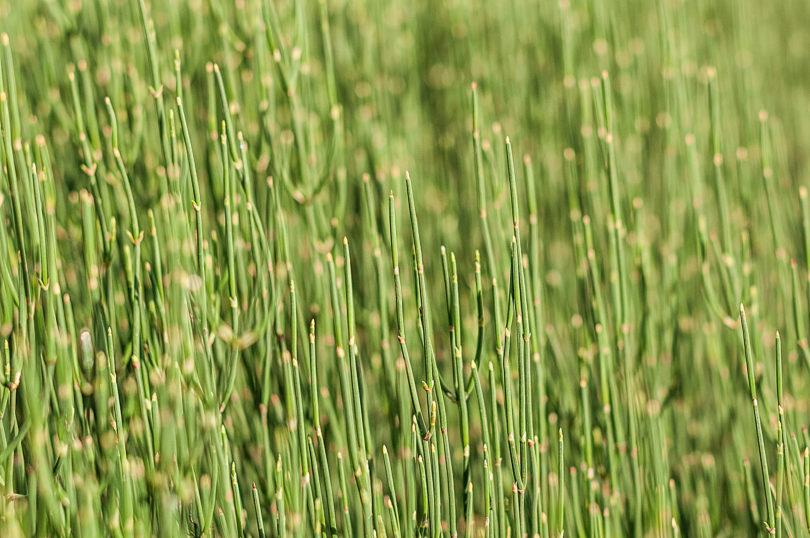 Ephedra helvetic - Meerträubel