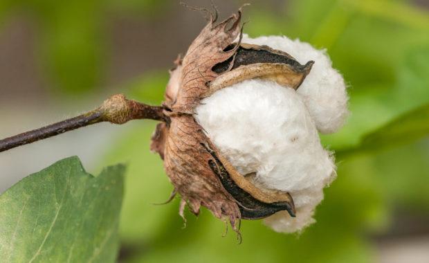 Gossypium herbaceum - Baumwolle