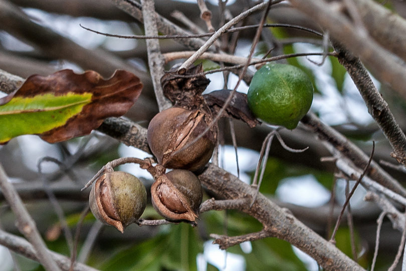 Macadamia integrifolia - Macadamia