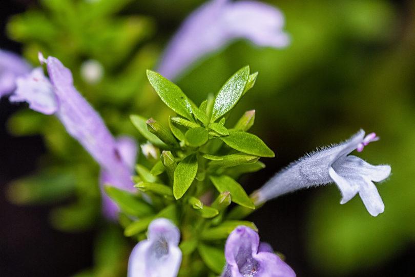 Poliomintha longiflora - Mexikanischer Oregano